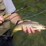 Missouri brown trout