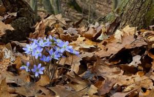 Hepatica is in bloom