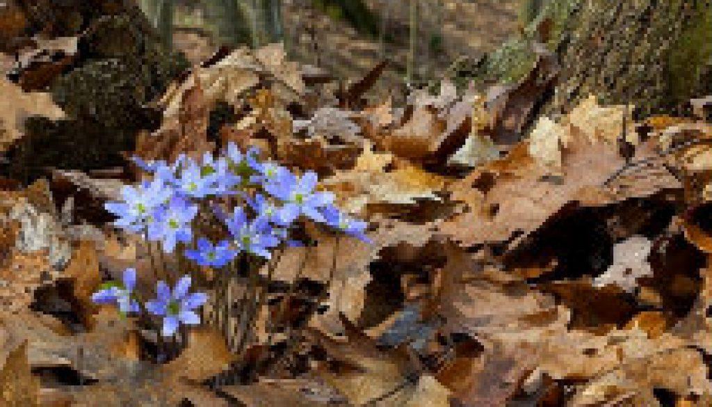 Hepatica is in bloom featured