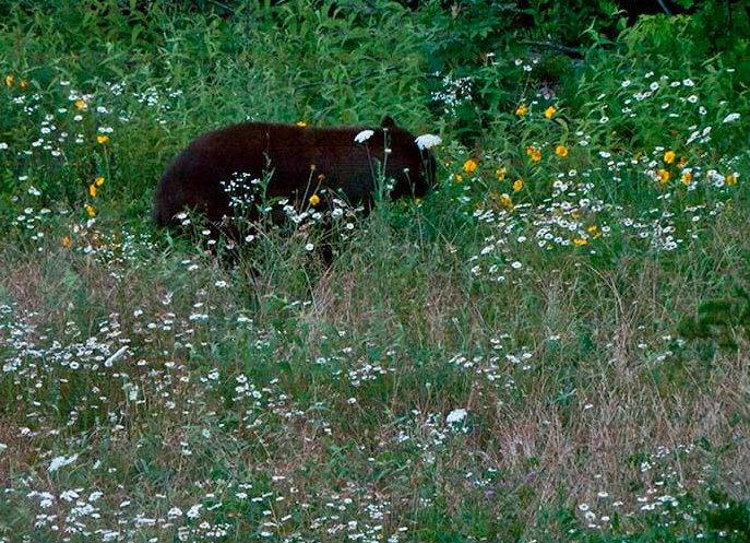 Ozark County leads Missouri in Black Bear sightings