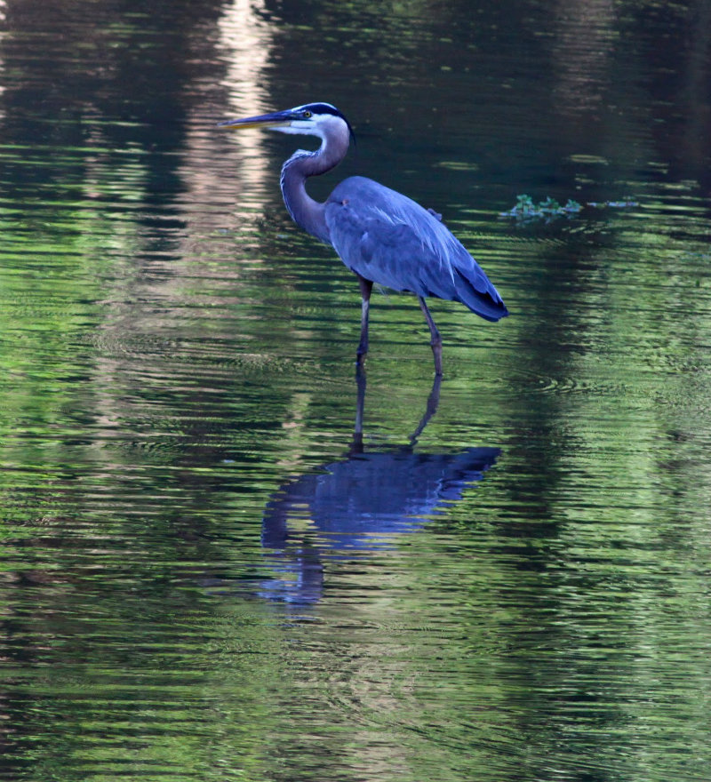 Reflections Great Blue Heron