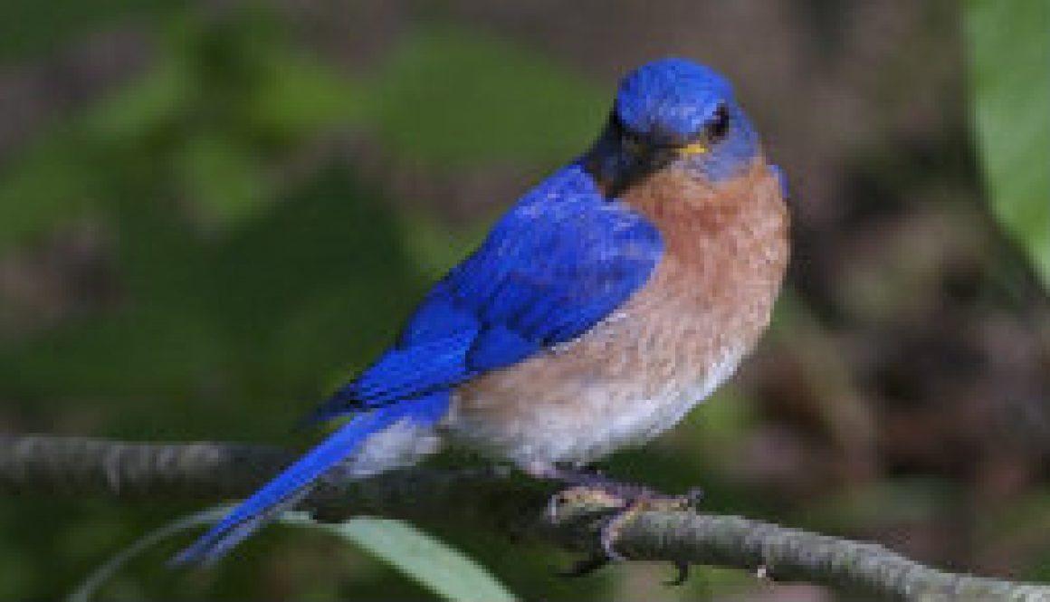 Award Winning Bluebird Photo featured