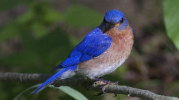 Award Winning Bluebird Photo featured