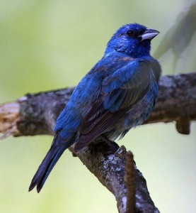 Indigo Bunting in all his glory