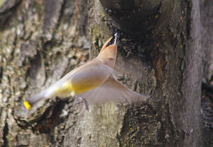 A Cedar Waxwing migrating north at ROLF in April