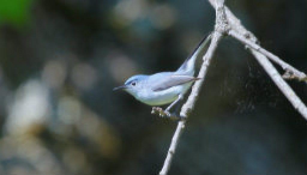 A beautiful Blue Gray Gnatcatcher featured