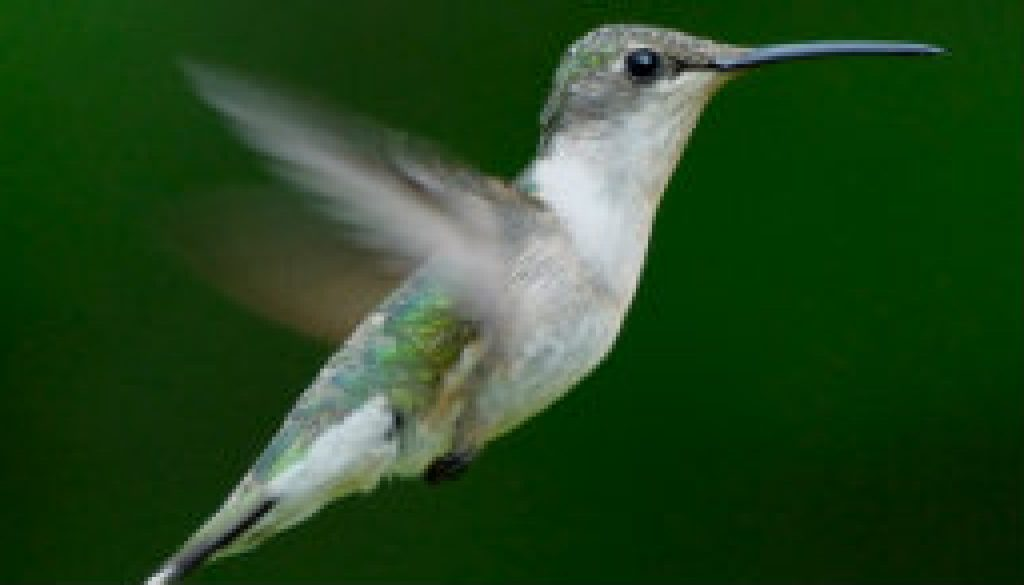 A beautiful little female Ruby Throated Hummingbird featured