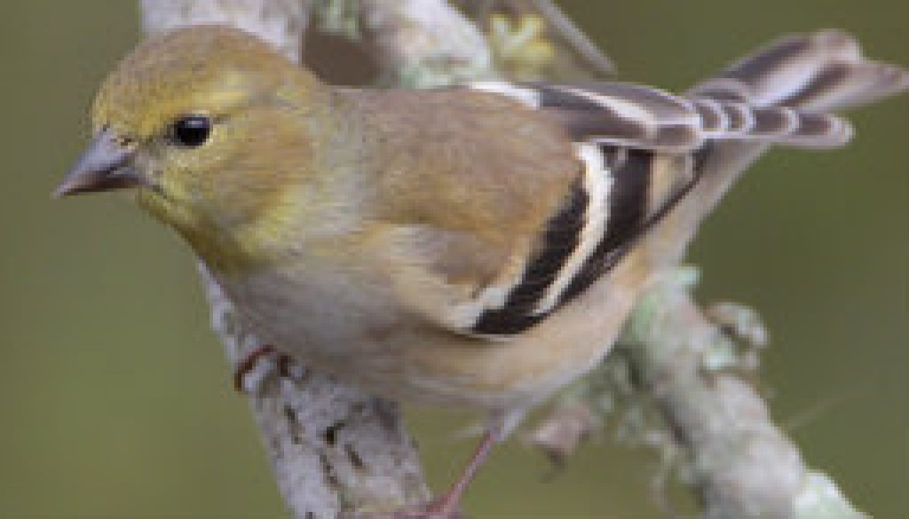 American Goldfinch in very early spring colors featured