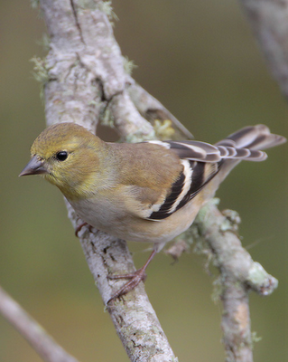 American Goldfinch in very early spring colors