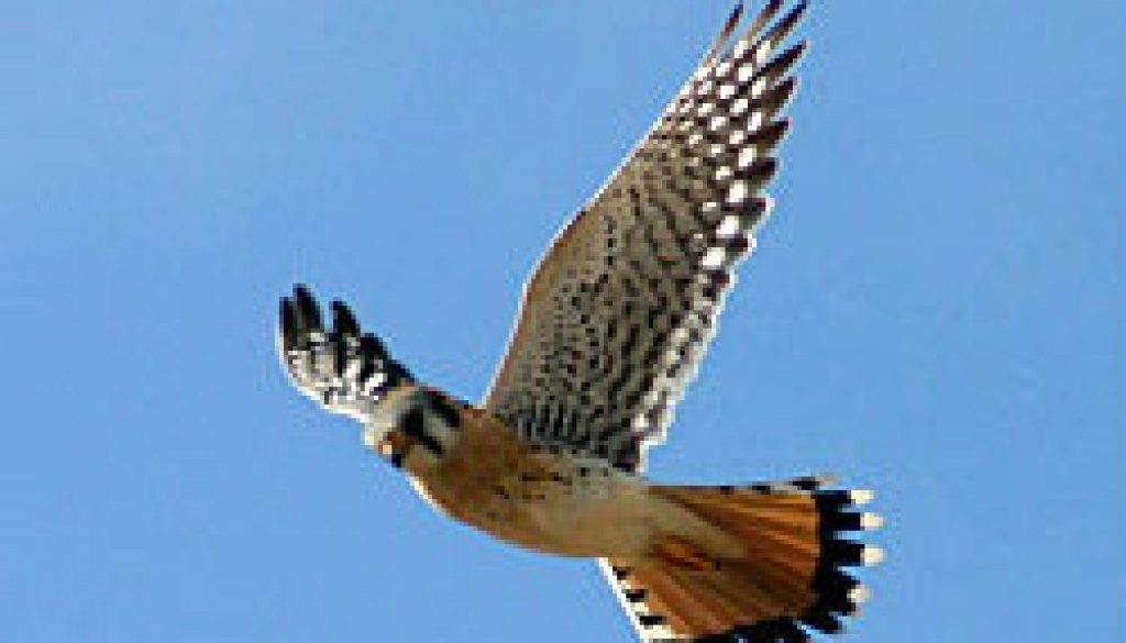 American Kestrel featured