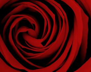Ann McKee's October Rose