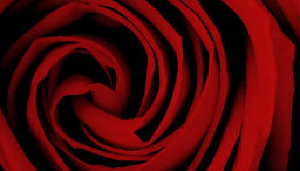 Ann McKee's October Rose featured