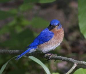 Award Winning Bluebird Photo