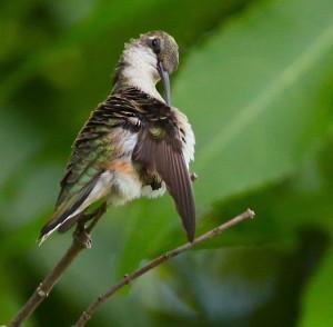 Baby Ruby-throat Hummingbird Preening