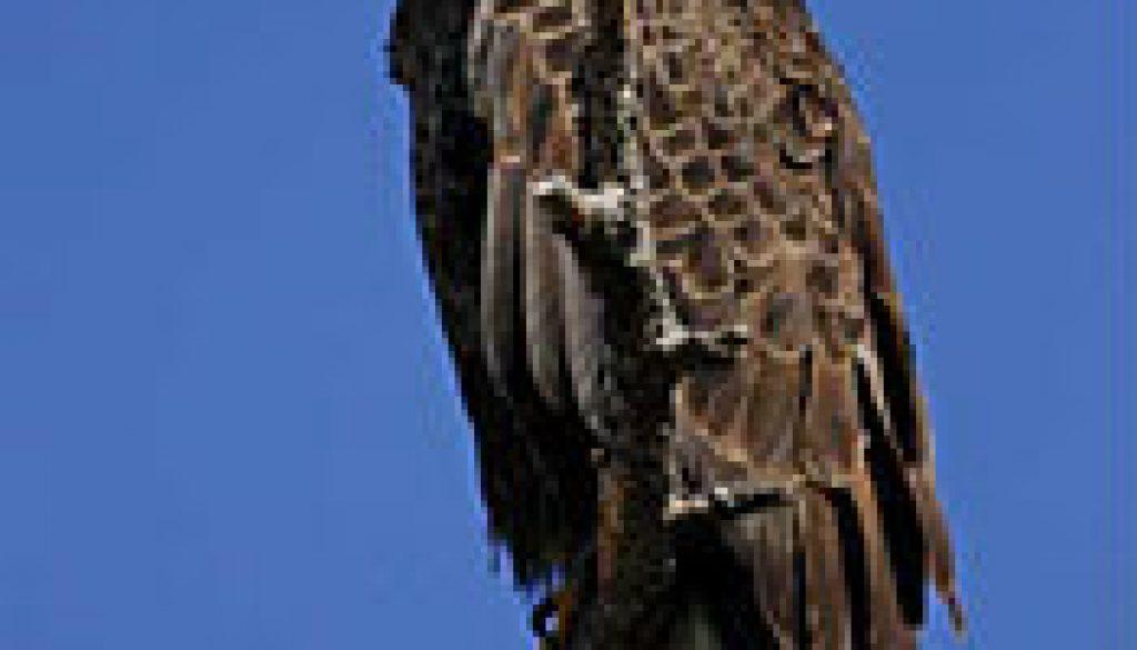 Bald Eagle featured