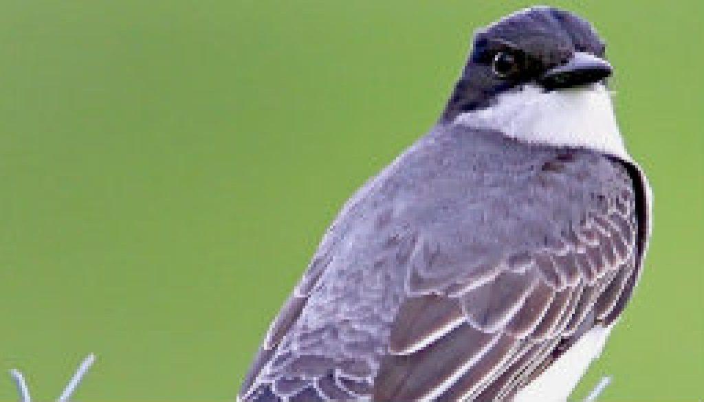 Beautiful Eastern Kingbird featured