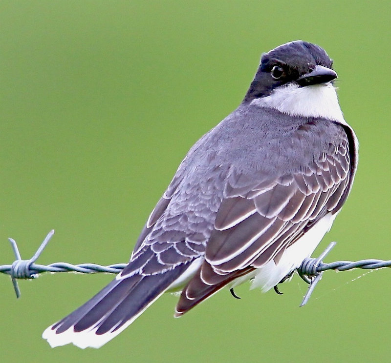 Beautiful Eastern Kingbird