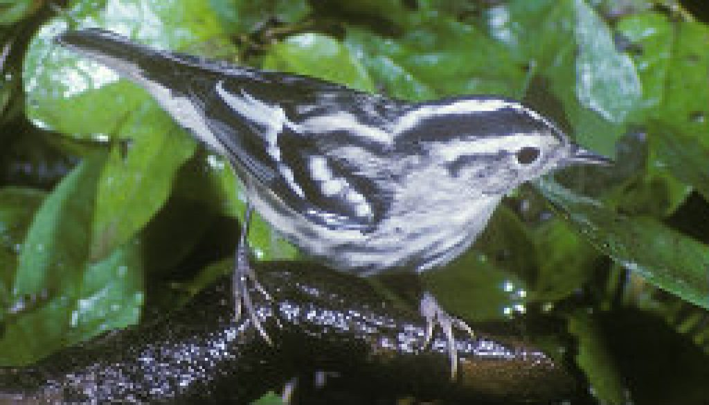 Black and White Warbler featured