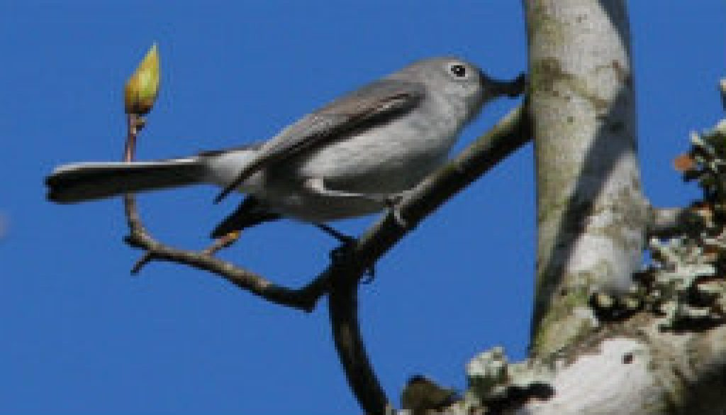 Blue Gray Gnatcatcher from Tree Top Loft featured