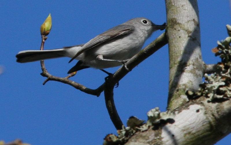 Blue Gray Gnatcatcher from Tree Top Loft