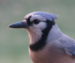 Blue Jay taken today (Feb