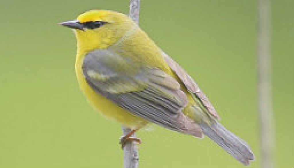 Blue-winged Warbler featured