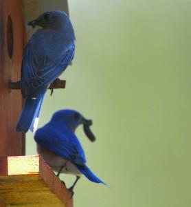 Bluebird Myron and Bluebird Ann (top) at ROLF