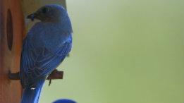 Bluebird Myron and Bluebird Ann (top) at ROLF featured