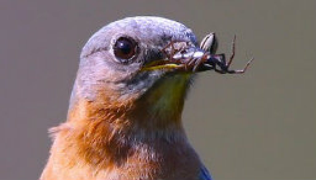 Bluebirds 2010 at River of Life Farm featured