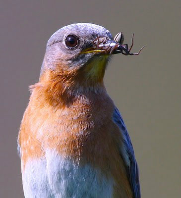 Bluebirds 2010 at River of Life Farm