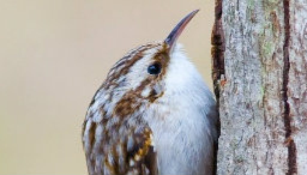 Brown Creeper featured