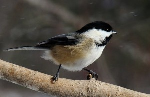 Chickadee in snow shower