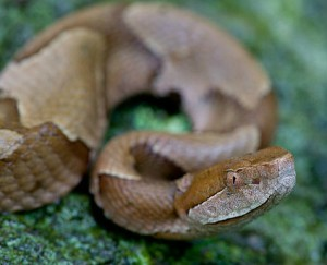 Close-up of Copperhead sep 27