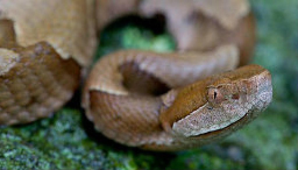 Close-up of Copperhead sep 27 featured