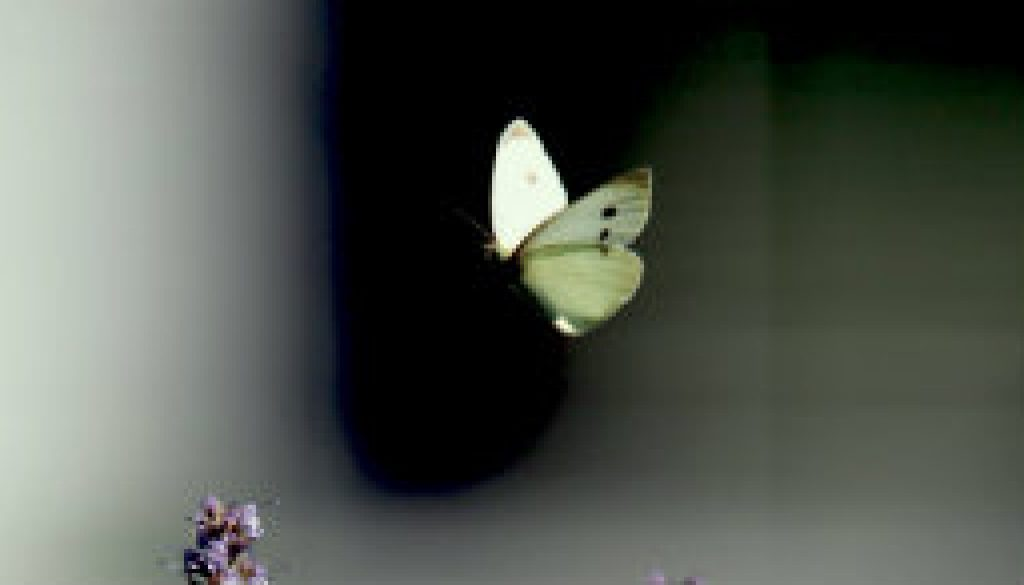 Common Cabbage Butterfly featured