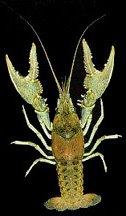 Crawfish of Missouri - Northern Crayfish
