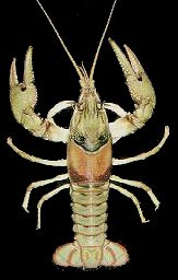 Crawfish of Missouri - Spothanded Crayfish