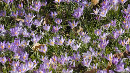 Crocus in bloom in Kirkwood featured