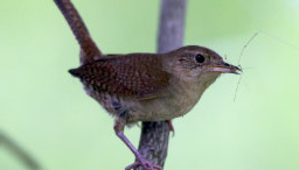 Cute House Wren with a Daddy-Longlegs featured