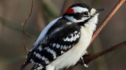 Cute mid winter male Downey Woodpecker featured