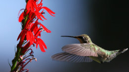 Dawn hummingbird picture of juvenile rubythroat featured
