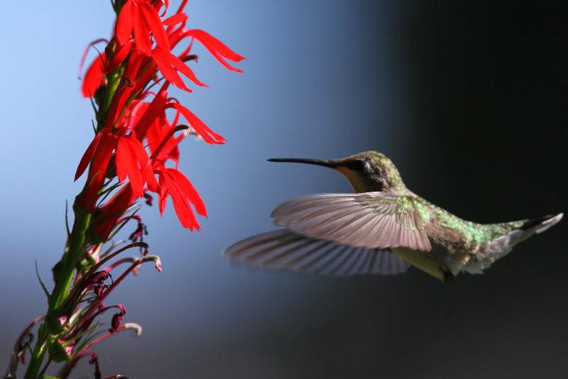 Dawn hummingbird picture of juvenile rubythroat