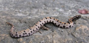 Debated whether to Post this or not (Pygmy Rattler)
