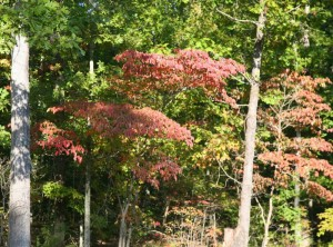 Dogwood turns in September 2008