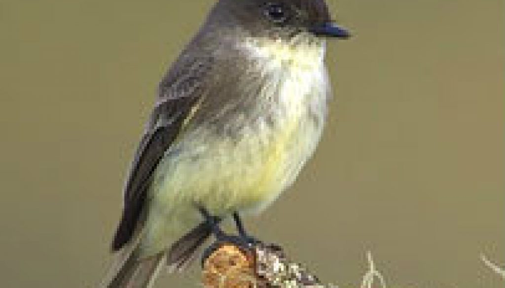Eastern Phoebe featured