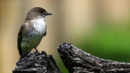 Eastern Phoebe on Split Rail fence at Caney Mountain featured