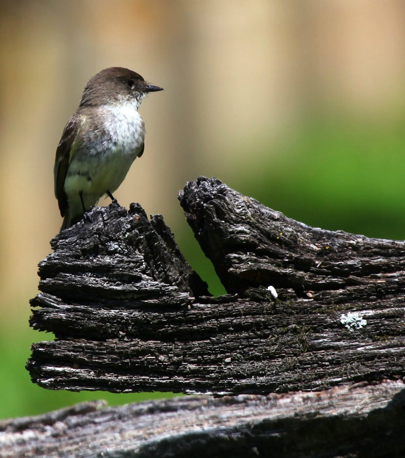 Eastern Phoebe on Split Rail fence at Caney Mountain