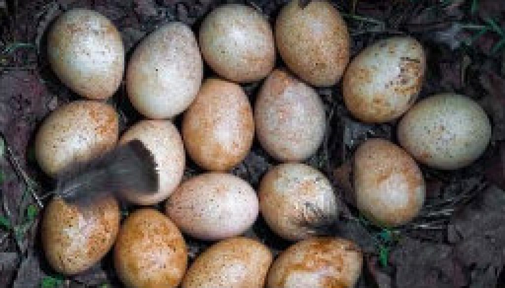 Ever hear of a turkey laying 17 eggs featured