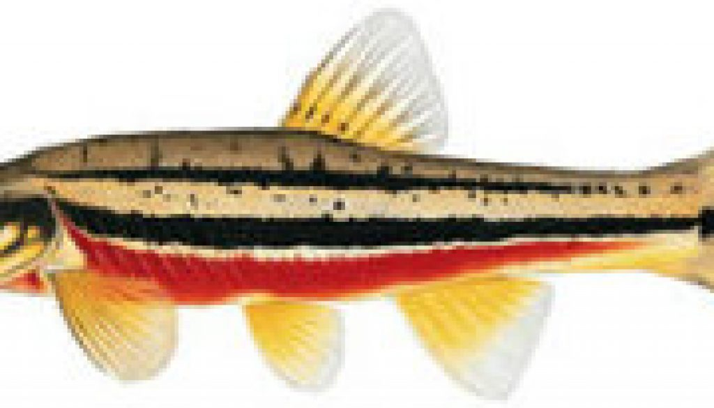 FIshes found in the North Fork - Red-bellied Dace featured