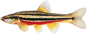 FIshes found in the North Fork - Red-bellied Dace